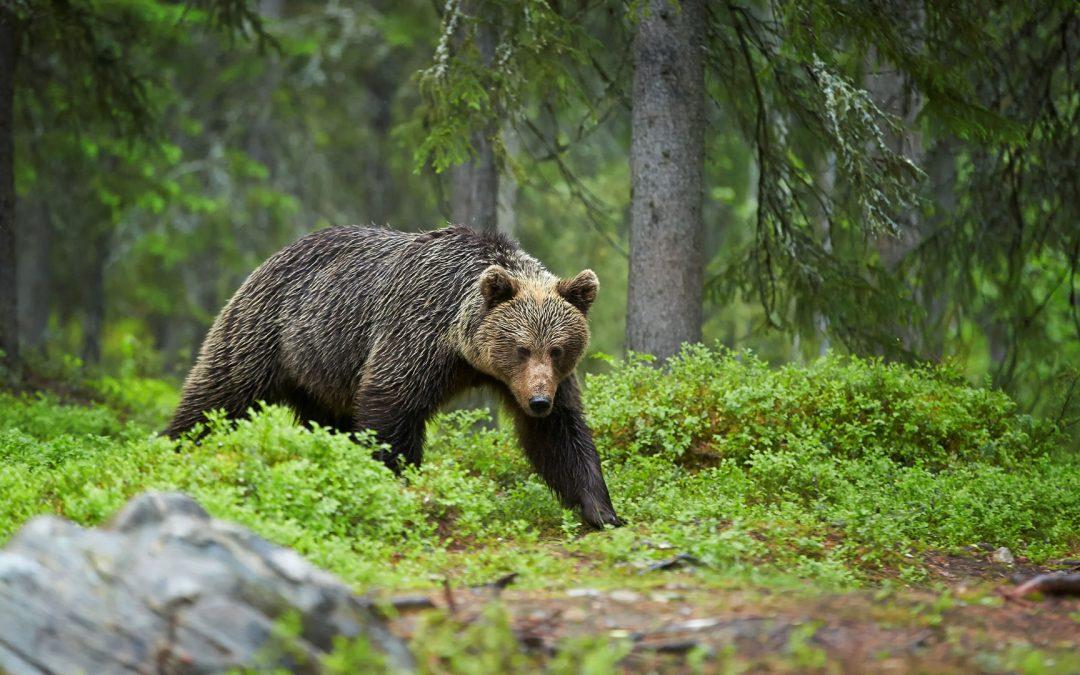 Conversations around Grizzlies in the West
